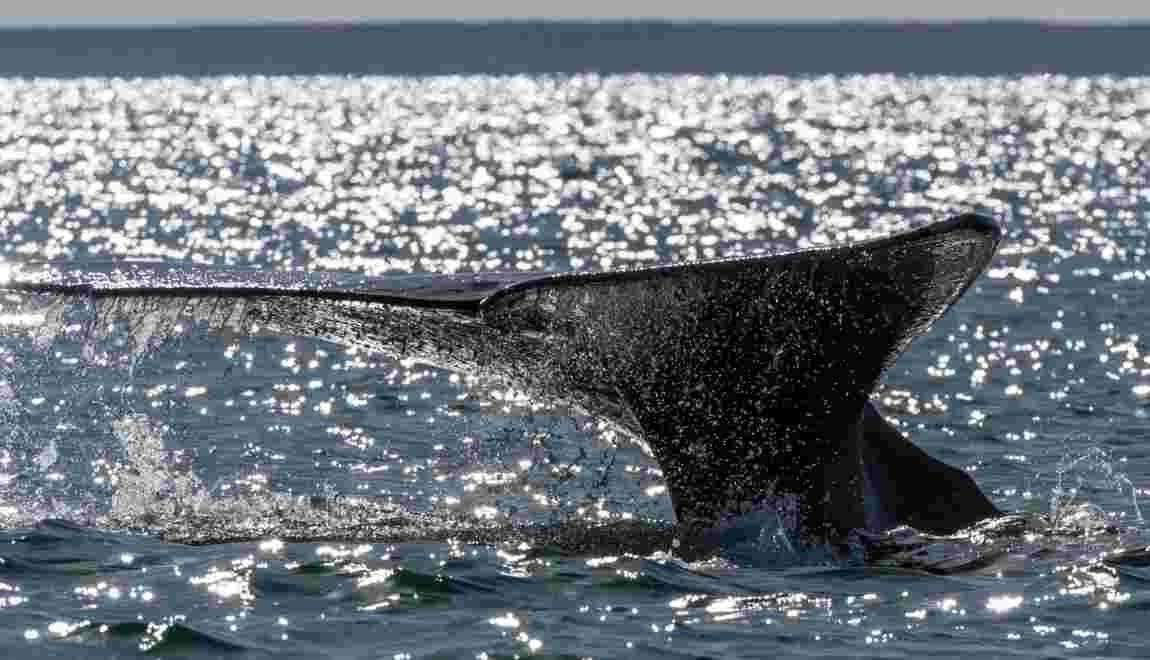 """Canada : trois espèces de baleines """"en péril"""""""