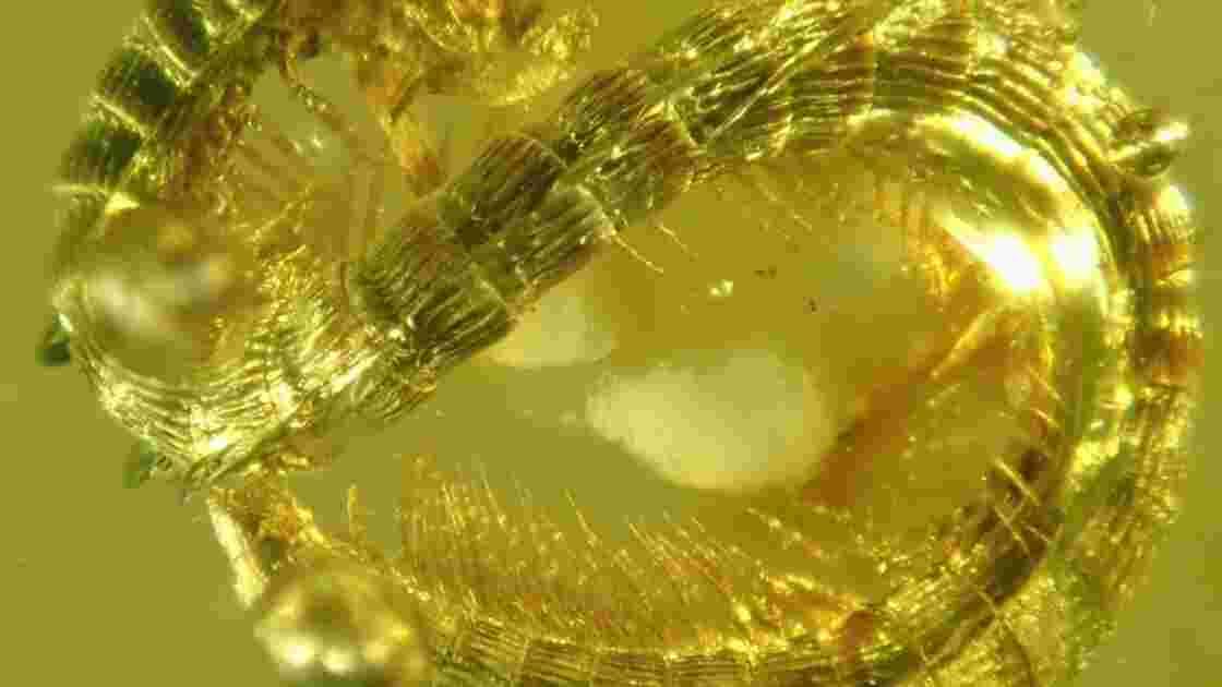 Des chercheurs ont découvert un mille-pattes de 99 millions d'années fossilisé dans de l'ambre