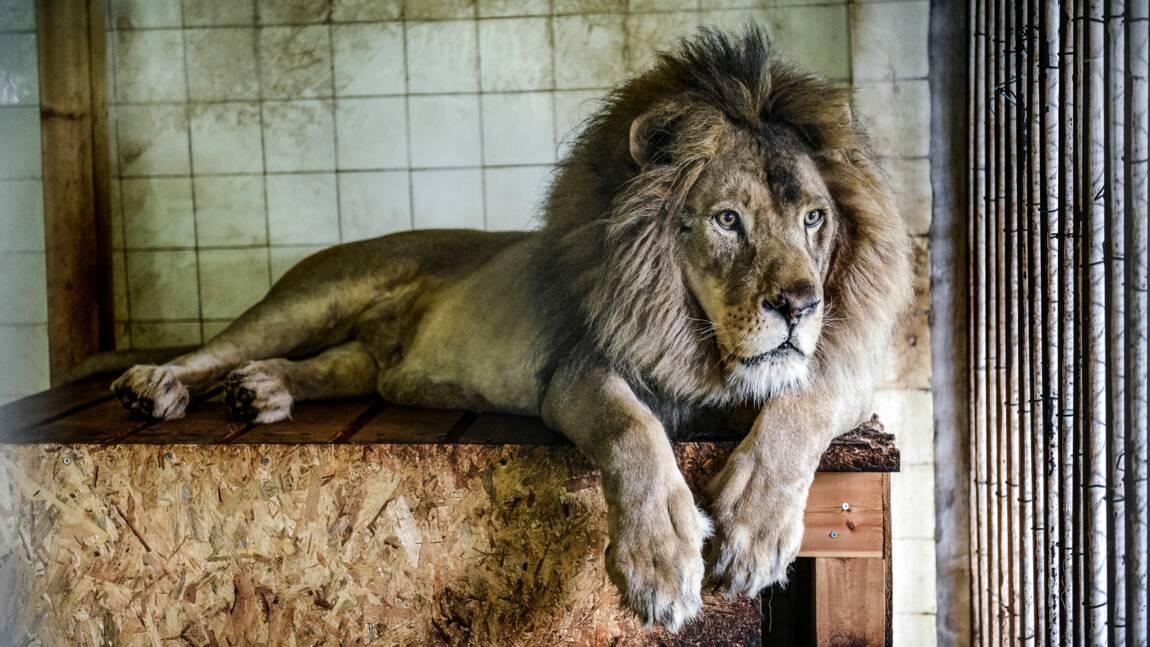 Trois lions sauvés en Albanie transférés au Pays-Bas