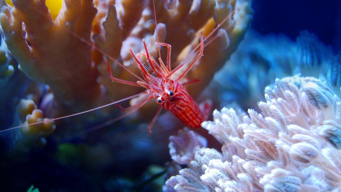À cause du manque d'oxygène dans les océans, les invertébrés marins deviennent aveugles