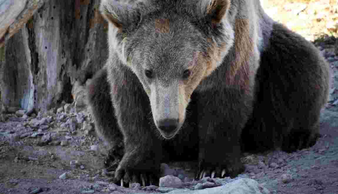 Un ours signalé au Portugal pour la première fois en près de 200 ans