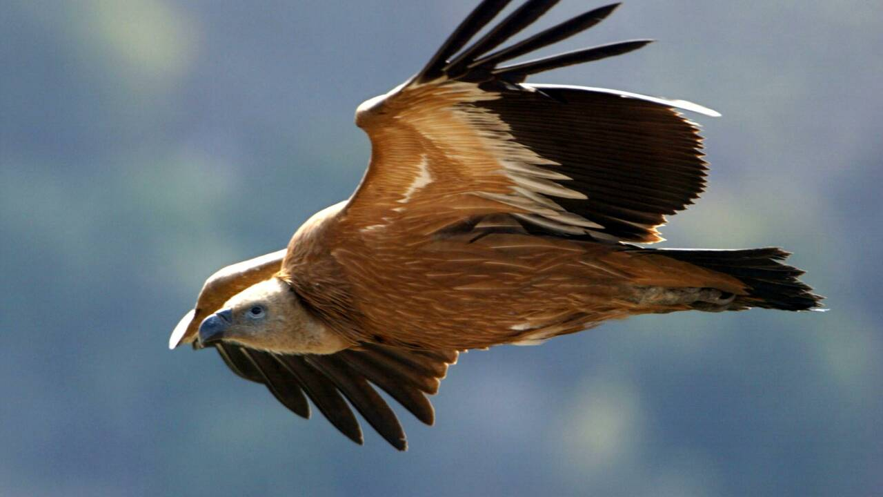 Israël : Empoisonnement mortel d'une grande partie des rares vautours du Golan