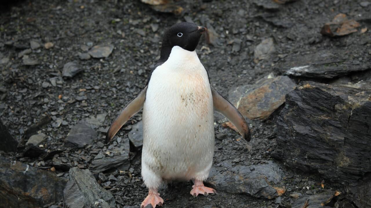 Les fientes de manchots, indispensable chaînon de la vie en Antarctique