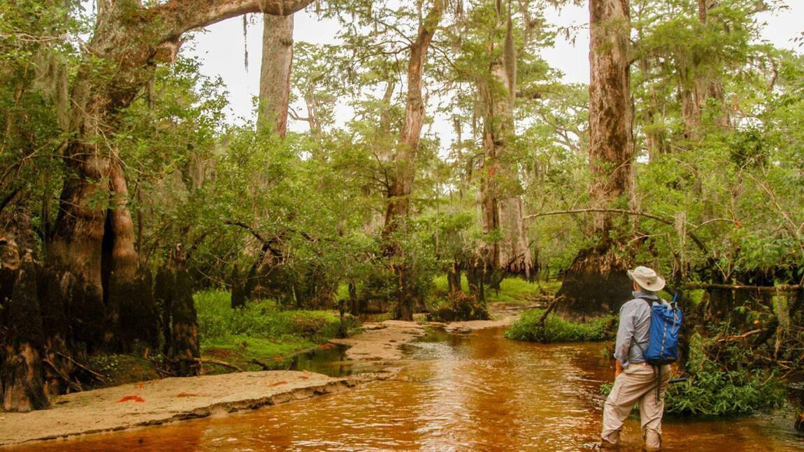 L'un des plus vieux arbres au monde se cache dans un marais aux Etats-Unis