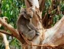 En Australie, le koala est une espèce en voie d'extinction
