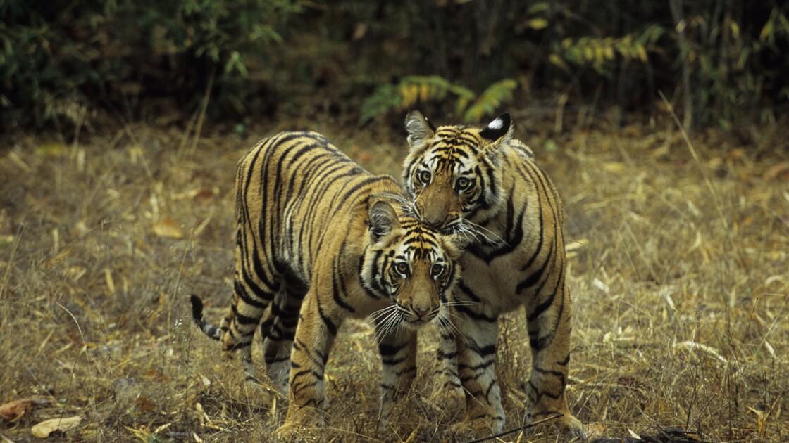 Un Etat indien annonce la naissance d'une dizaine de tigres dans ses réserves