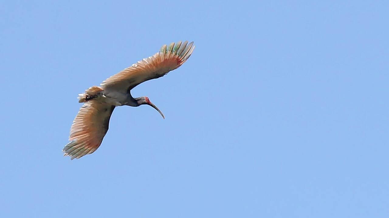 Corée du Sud : retour de l'ibis nippon 40 ans après son extinction