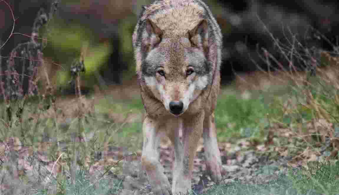 """Traque d'un loup """"solitaire"""" aux portes de Nîmes"""