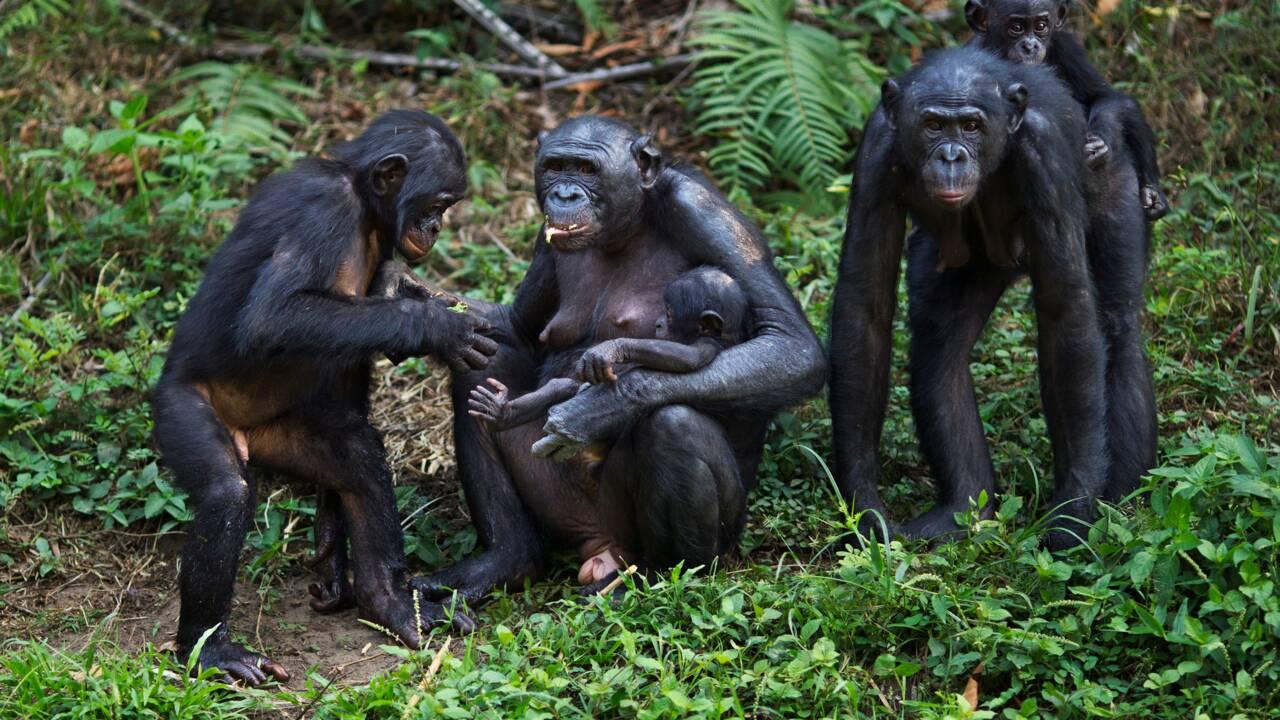 Les mères bonobos jouent les entremetteuses pour assurer la descendance de leurs fils