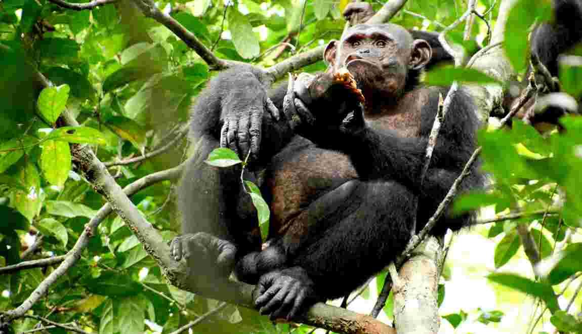Des chimpanzés surpris à manger (et casser) des tortues dans une forêt du Gabon
