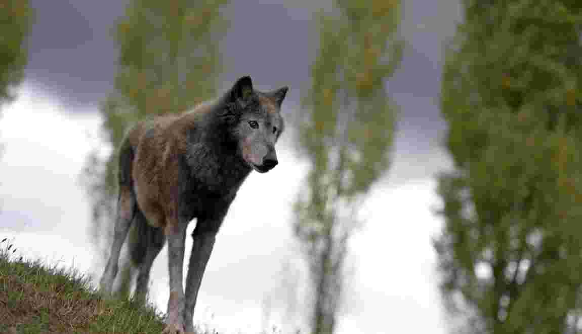Un loup solitaire abattu aux portes de Nîmes