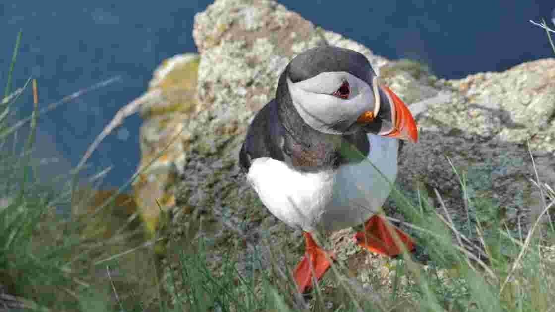 En Islande, une petite île a installé de faux macareux pour attirer les vrais sur ses côtes