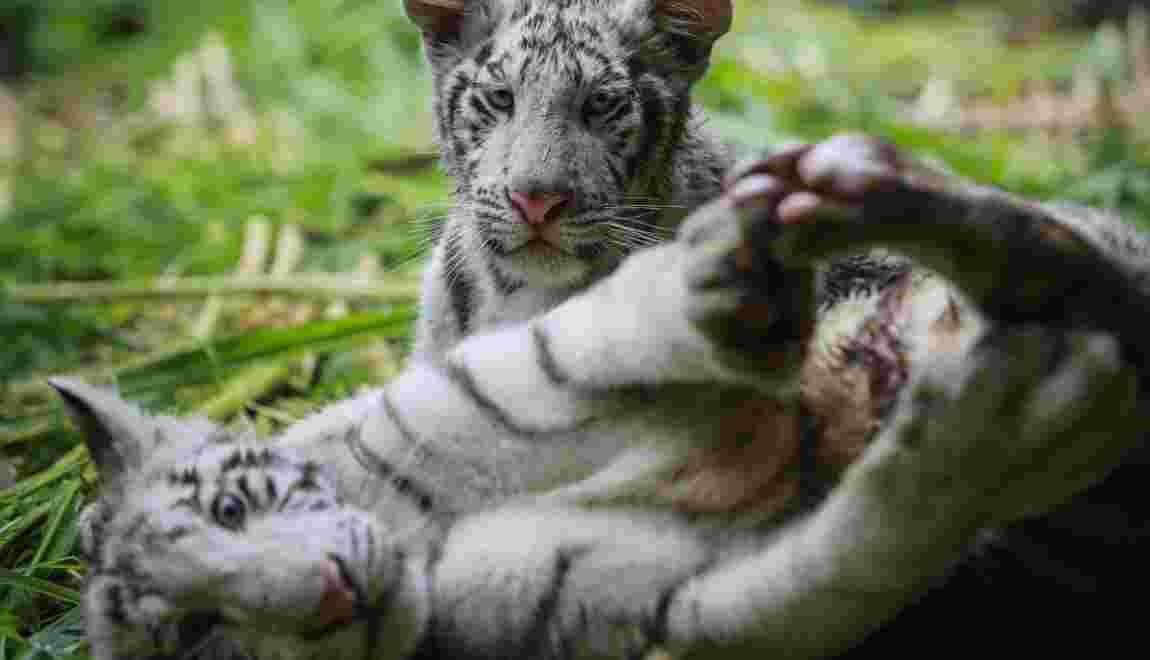 Deux petits tigres blancs arrivent au zoo national du Nicaragua