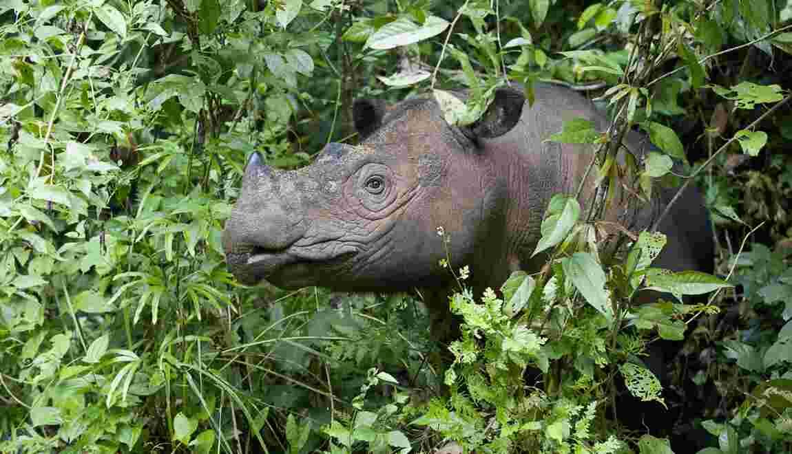 Le dernier rhinocéros mâle de Sumatra vivant en Malaisie est mort