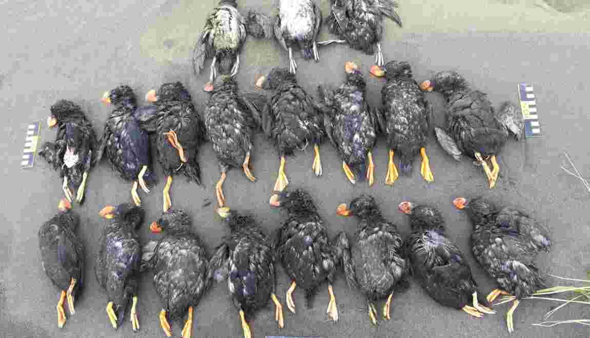Les macareux affamés par le réchauffement climatique en Alaska