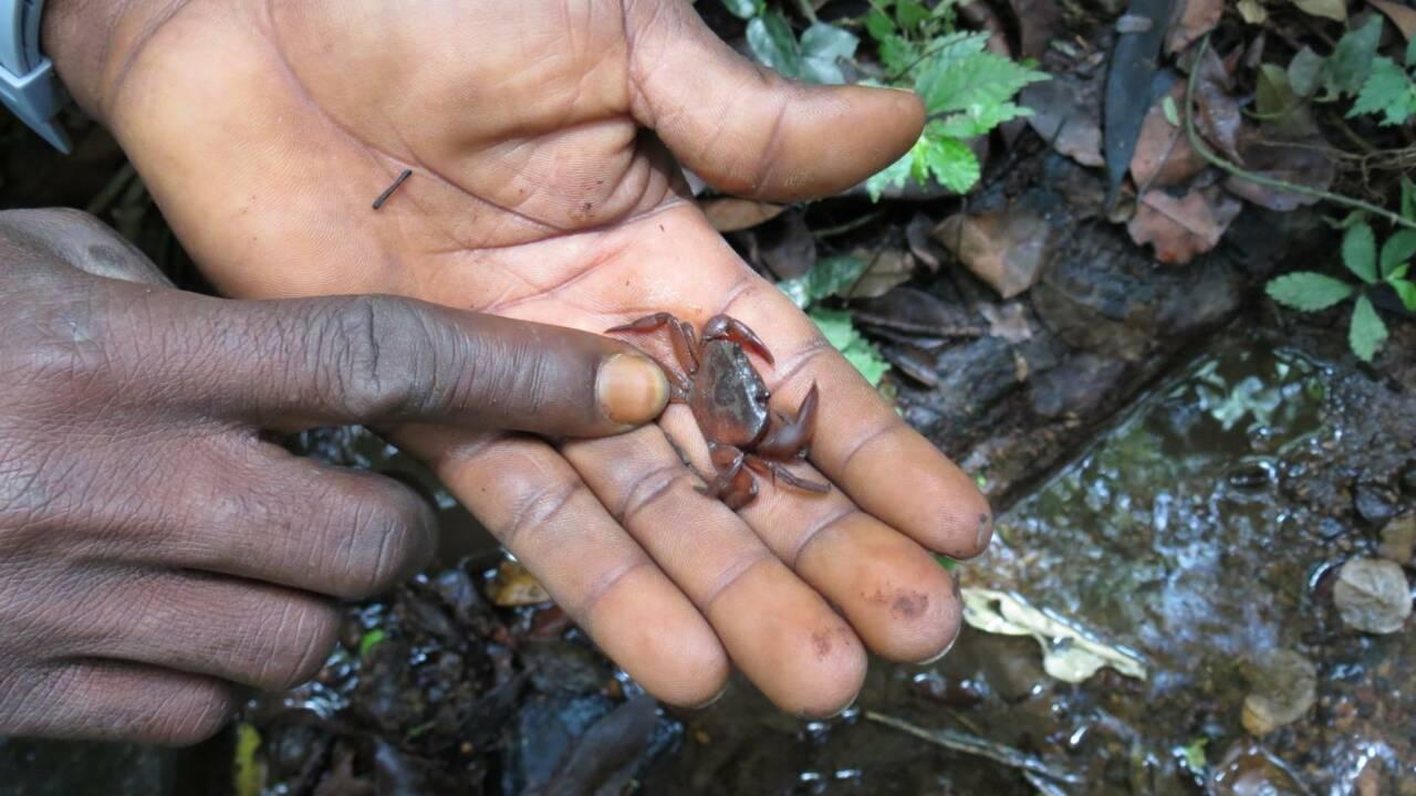 Des chercheurs observent des chimpanzés pêcher le crabe dans une forêt de Guinée