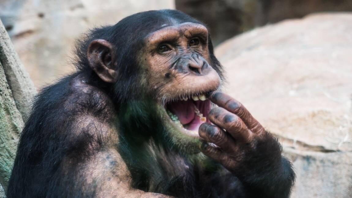 """Les chimpanzés ne survivent plus que dans des """"ghettos forestiers"""""""