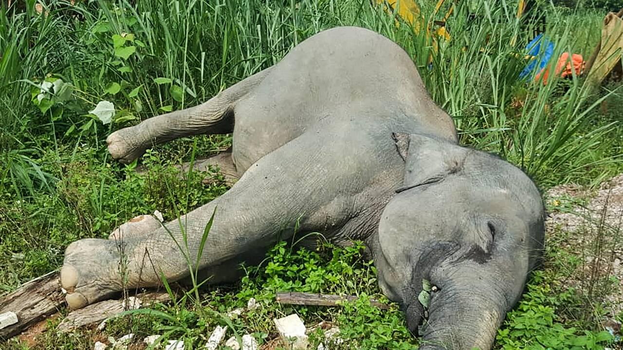 Malaisie : trois éléphants empoisonnés près de palmiers à huile