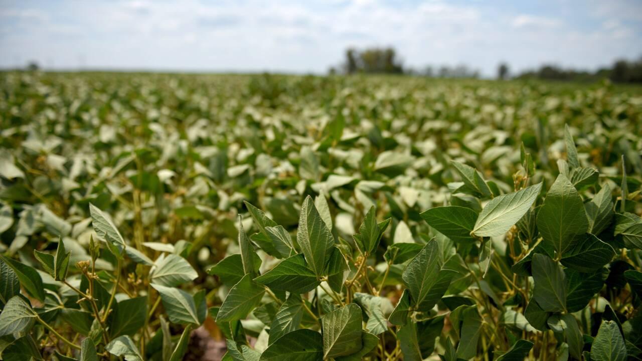 """Déforestation: Greenpeace dénonce """"l'addiction"""" au soja OGM des élevages industriels européens"""