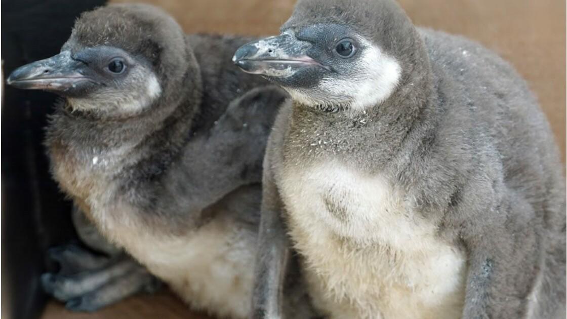 Manchots tueurs : meurtres en série au zoo de Dresde, en Allemagne