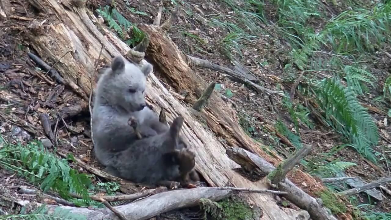 Ariège : un ourson perdu sauvé par l'Office de la faune sauvage