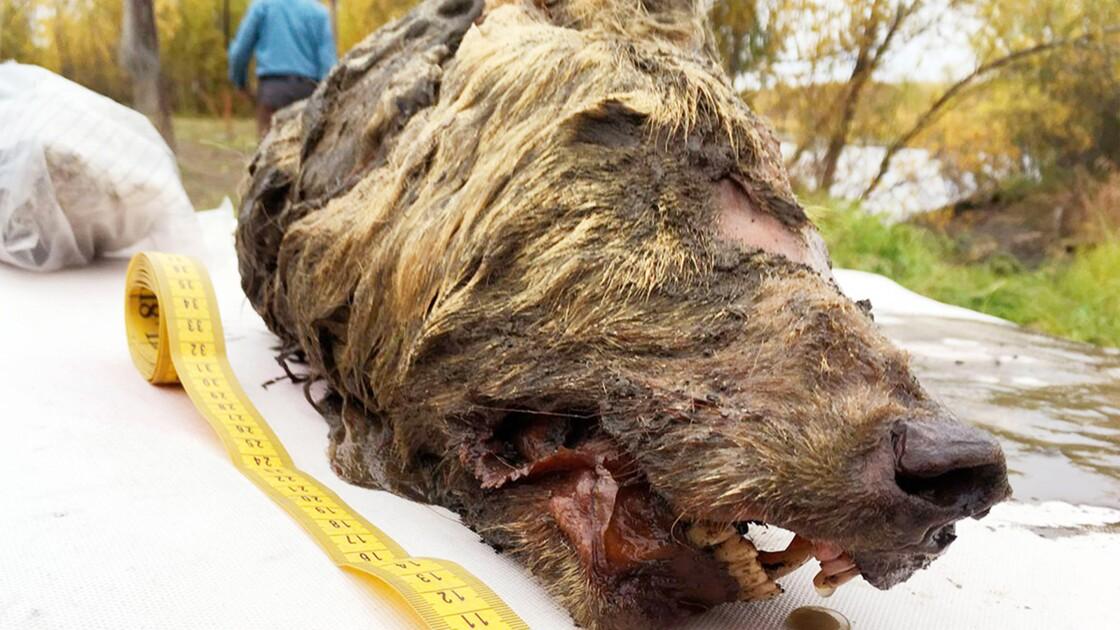 Un Russe découvre une tête de loup vieille de 40000 ans en Sibérie