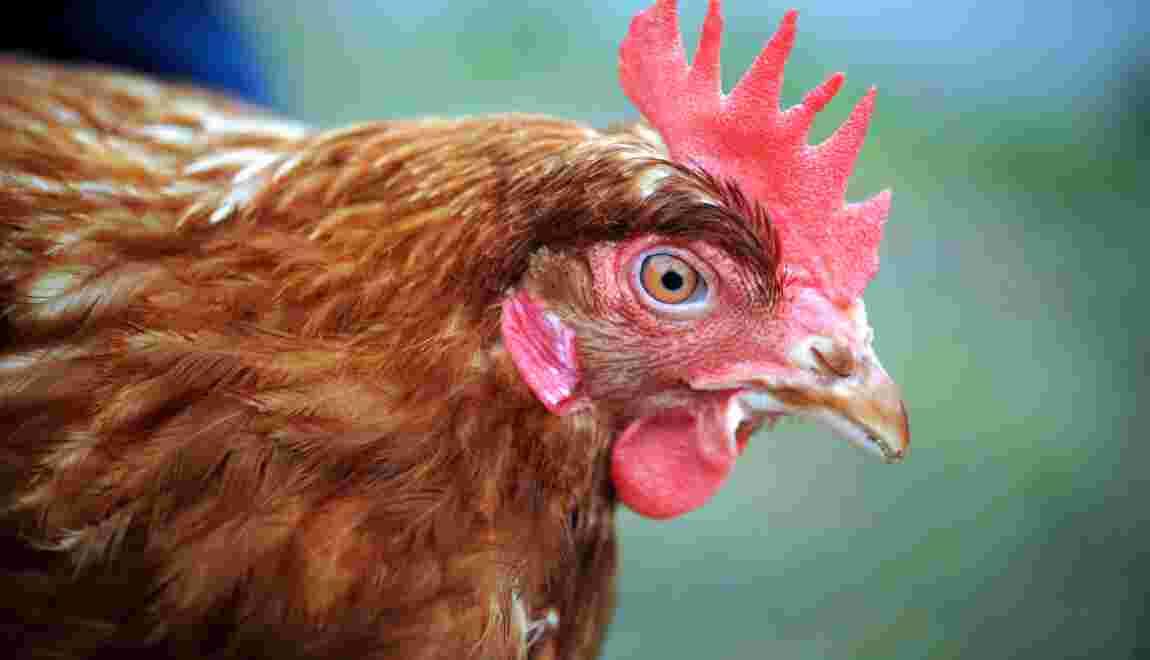 Bretagne: deux associations dénoncent des maltraitances dans un élevage de poules