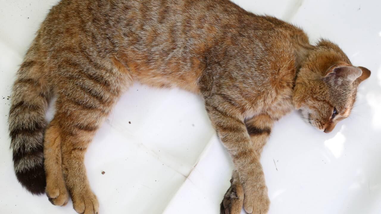 Chat-renard : tout ce qu'il faut savoir sur cet animal de légende
