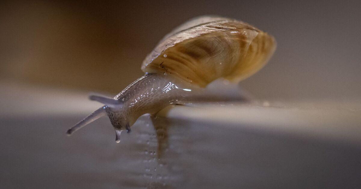 Aux Bermudes, un escargot qu'on pensait disparu depuis 40 ans revient à la vie