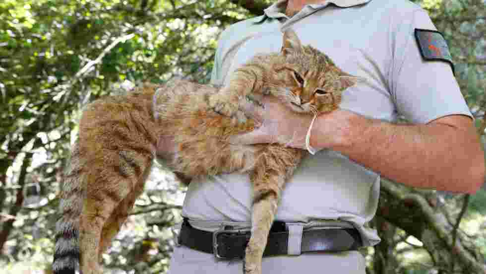 """Le """"chat-renard"""", probable nouvelle espèce de félin recensée en Corse"""