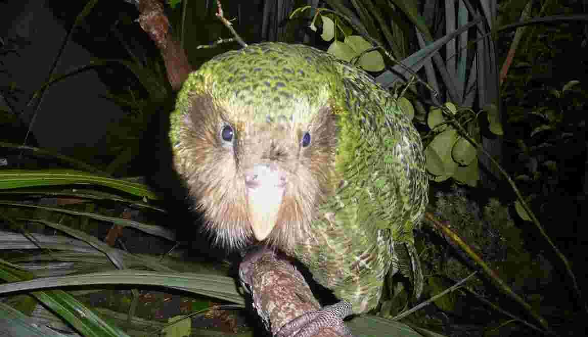 Une épidémie menace le kakapo, perroquet en danger d'extinction en Nouvelle-Zélande