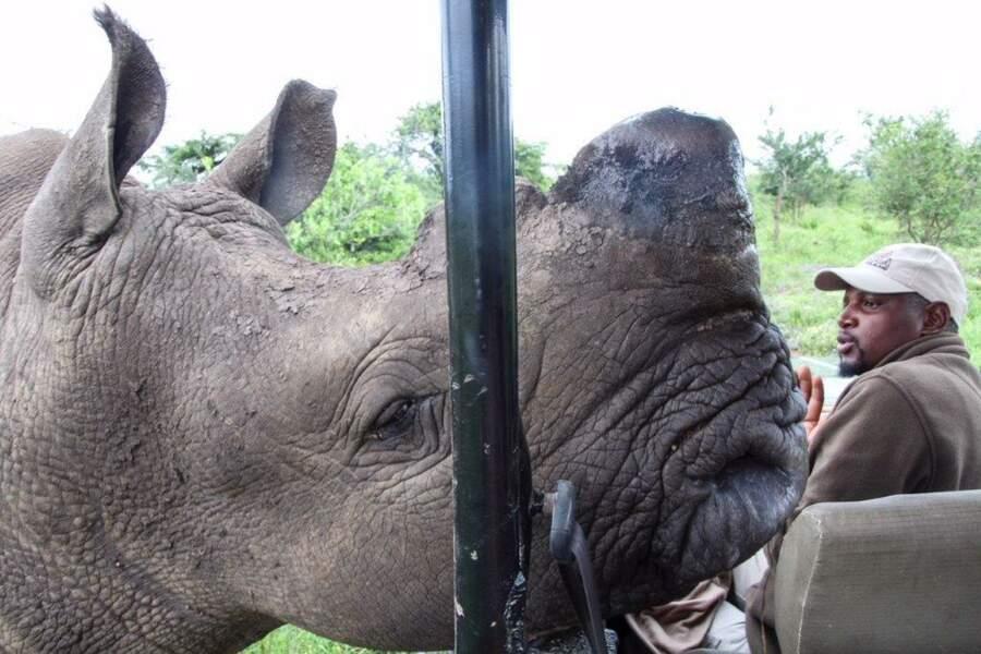 Petit rhinocéros deviendra grand