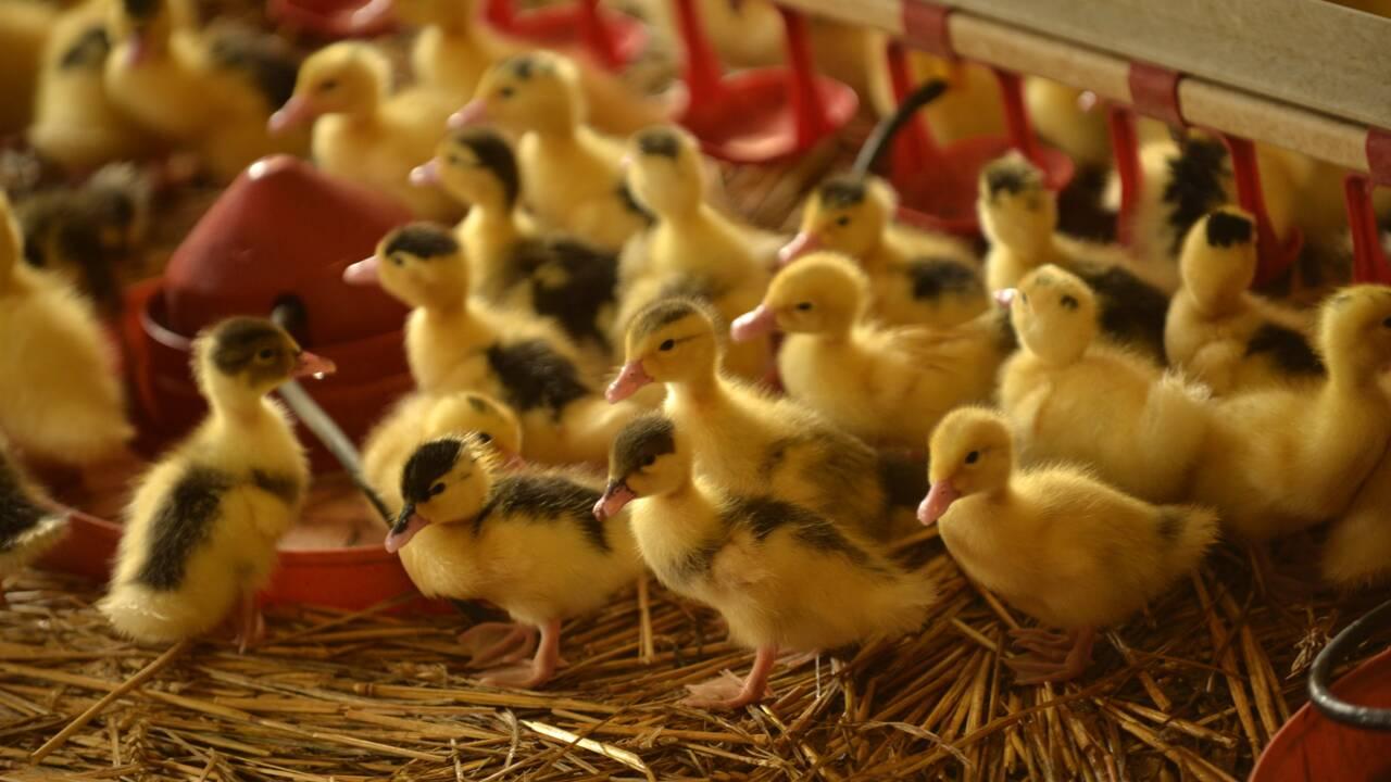 Bayonne: amendes requises contre des éleveurs pour refus d'abattage préventif de leurs canards
