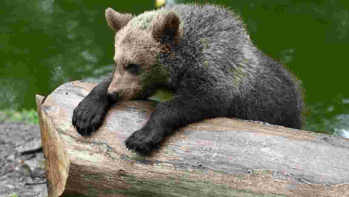 Tarn: l'ourson échappé de son enclos a été retrouvé
