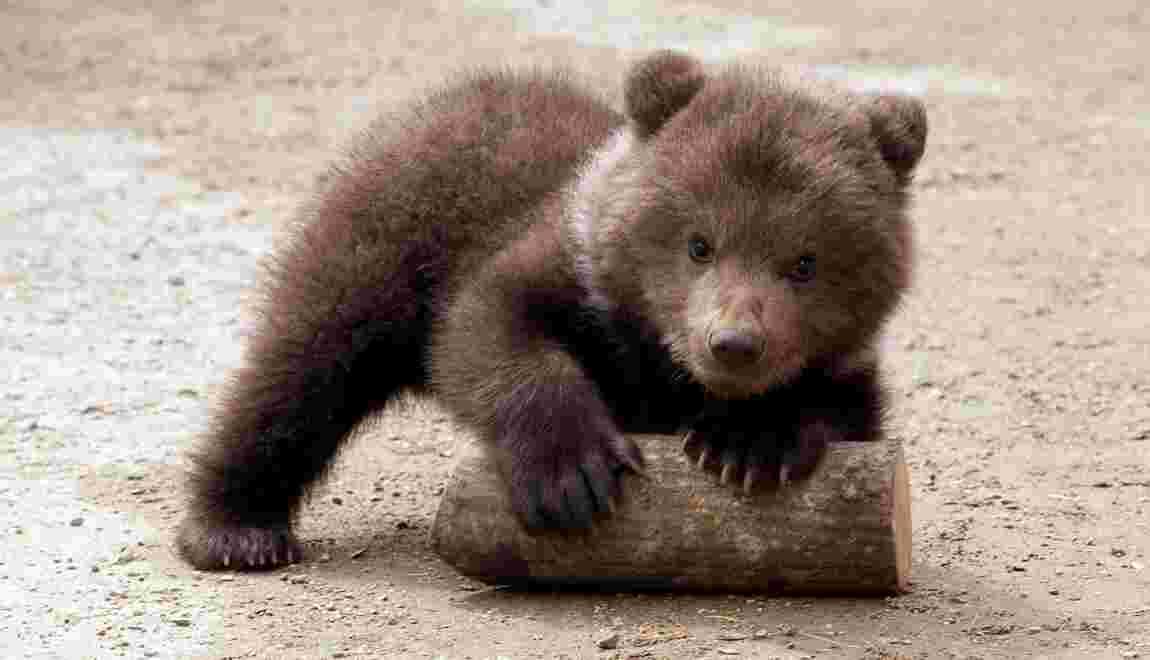 L'ourson échappé de son enclos a été retrouvé dans le Tarn