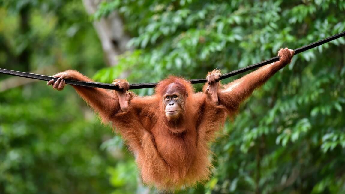 """Des orangs-outans remis en liberté après avoir été à l'""""école de la forêt"""" en Indonésie"""