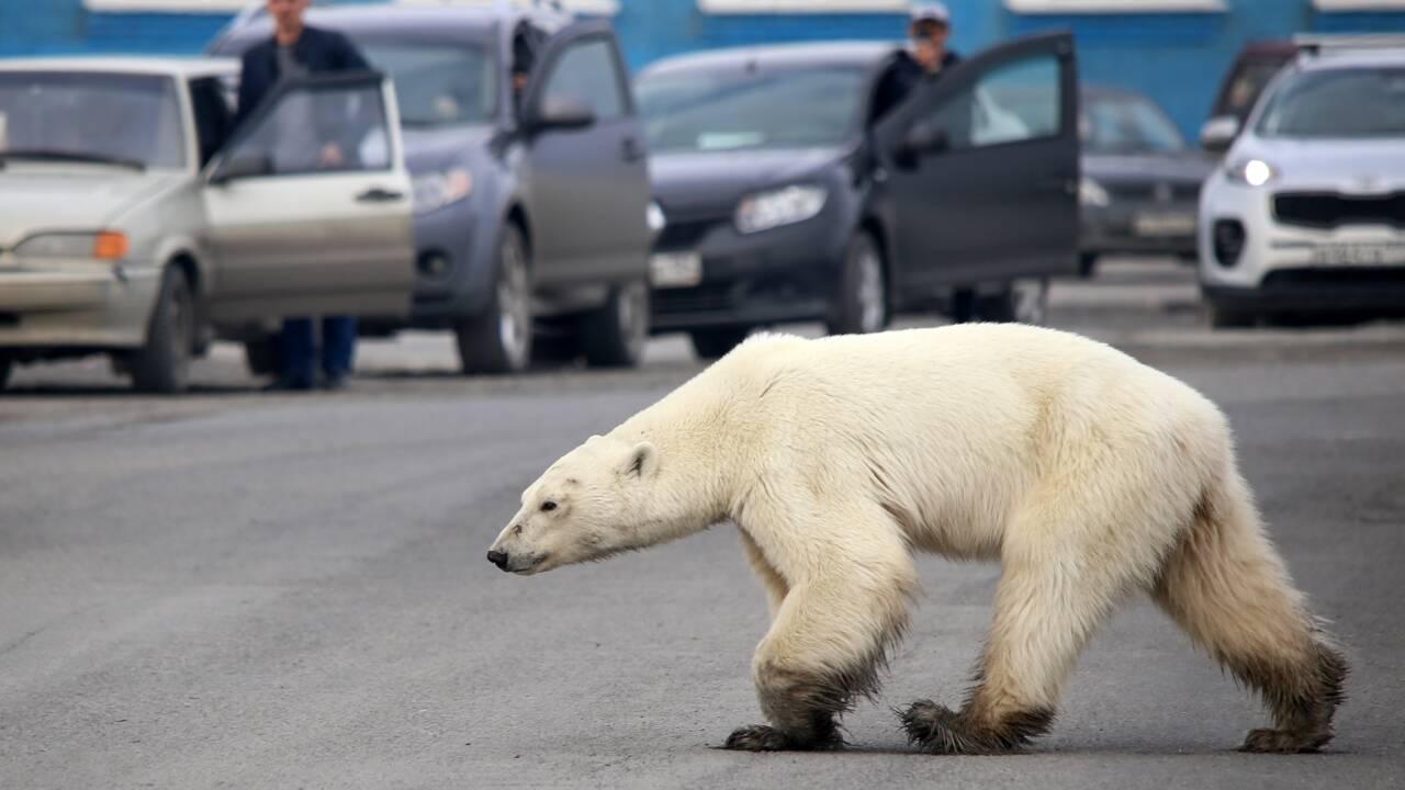 Dans l'Arctique russe, le cannibalisme en hausse chez les ours blancs à cause du réchauffement climatique