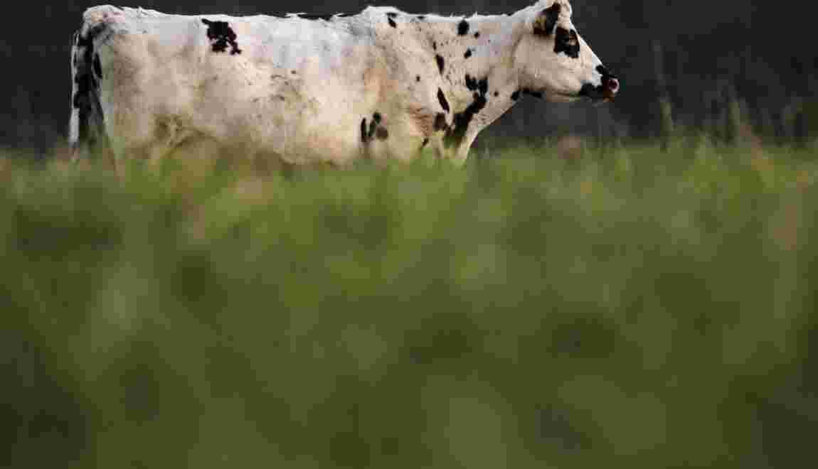 L'association L214 dénonce la pose de hublots sur des vaches à des fins de recherche