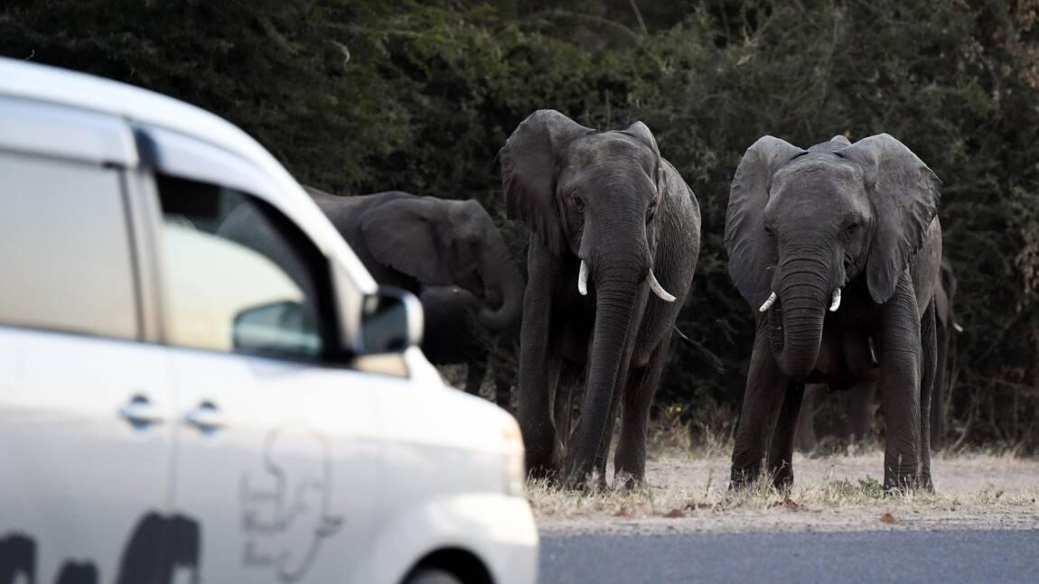 Au Botswana, les fermiers, exaspérés par les éléphants, saluent le rétablissement de la chasse