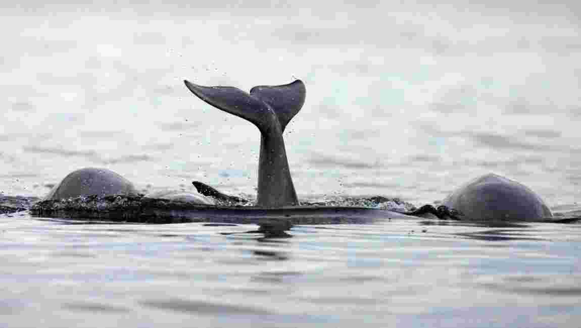 Les orques libérés par la Russie en route vers la mer d'Okhotsk