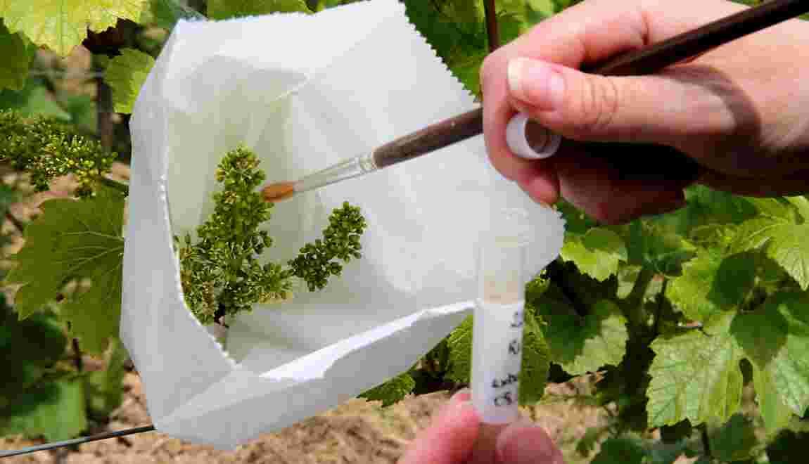 Réchauffement climatique: comment le champagne s'y prépare