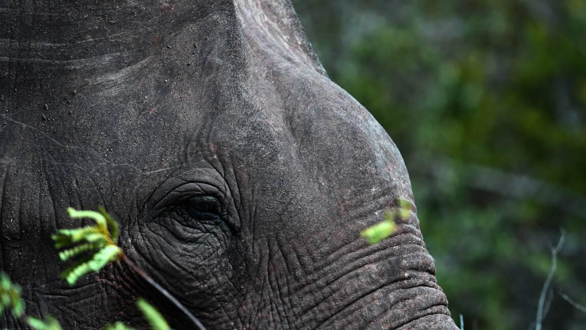 Sri Lanka: première procédure judiciaire pour trafic d'éléphants