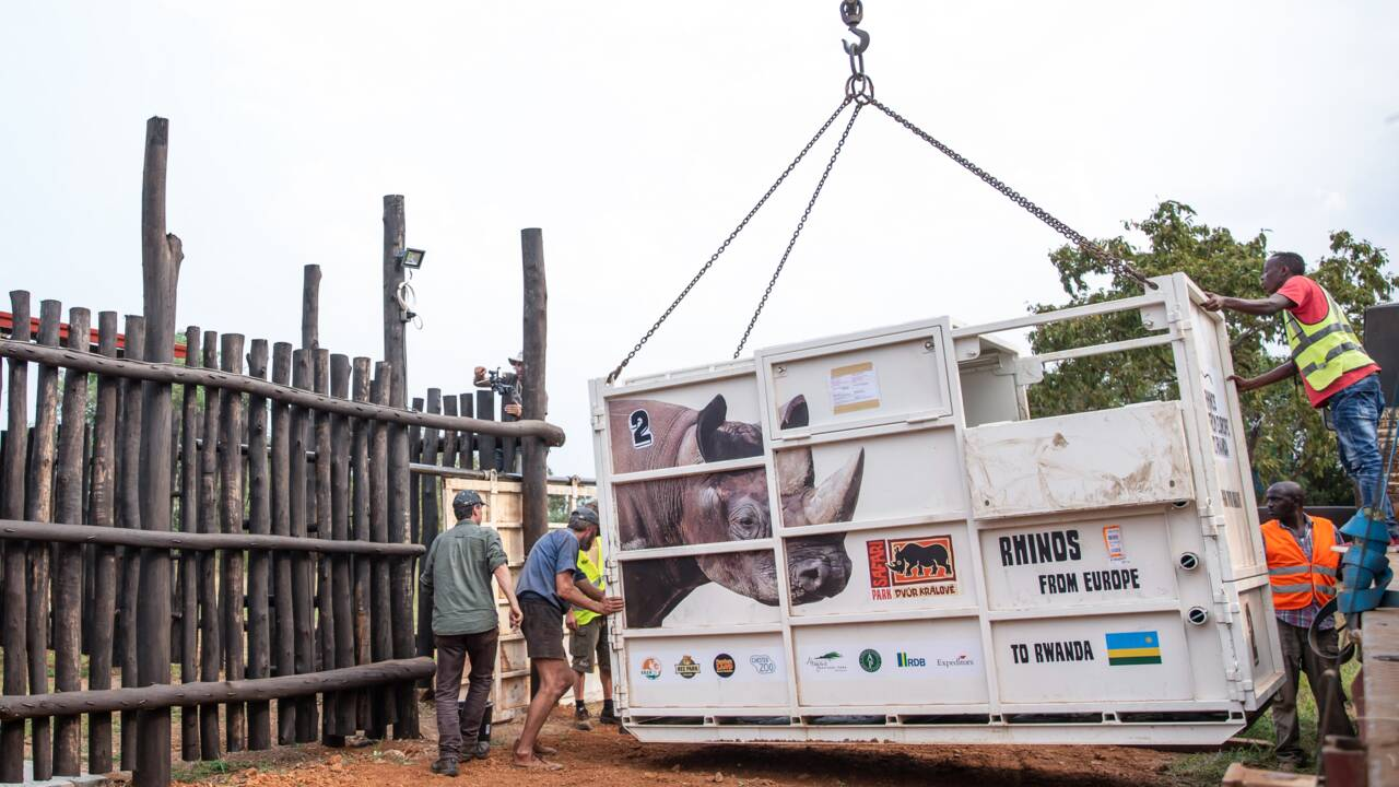 Cinq rhinocéros noirs réintroduits au Rwanda
