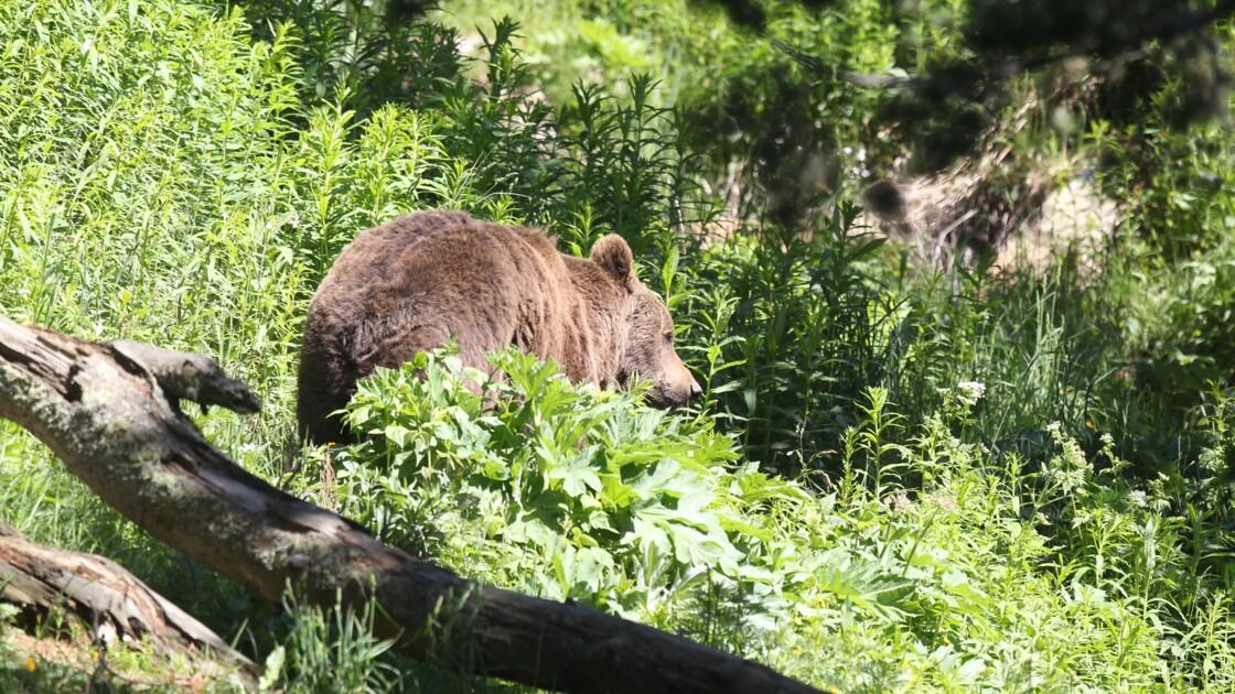 Pyrénées: suspension des constats de dégâts liés à l'ours dans deux vallées