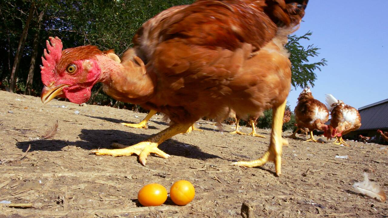 Dans l'Hérault 250 poules d'un élevage meurent victimes de la canicule