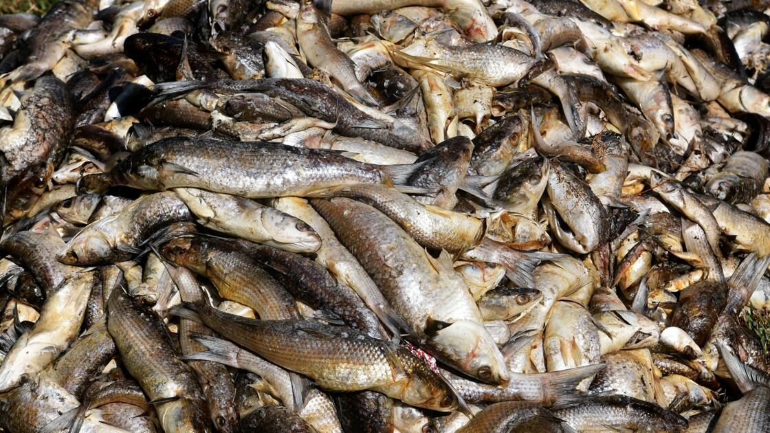 A Marignane, la canicule tue des milliers de poissons dans un étang