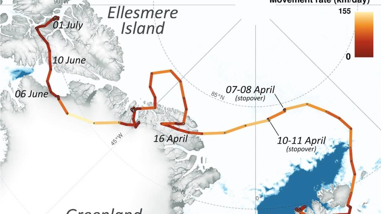 L'incroyable périple d'une renarde arctique du Svalbard au Canada