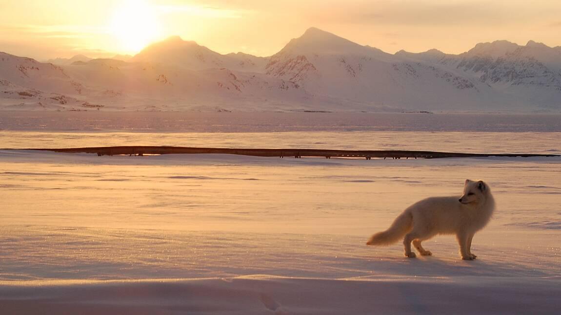 De la Norvège au Canada, une renarde polaire parcourt l'Arctique en moins de 80 jours
