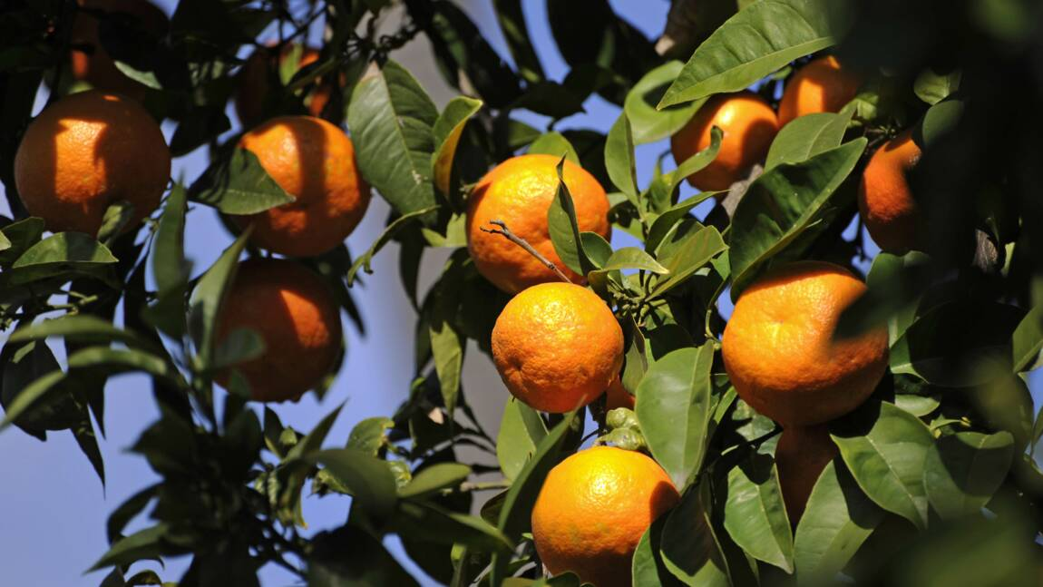 Oranges et citrons européens en danger: l'Anses avertit les voyageurs