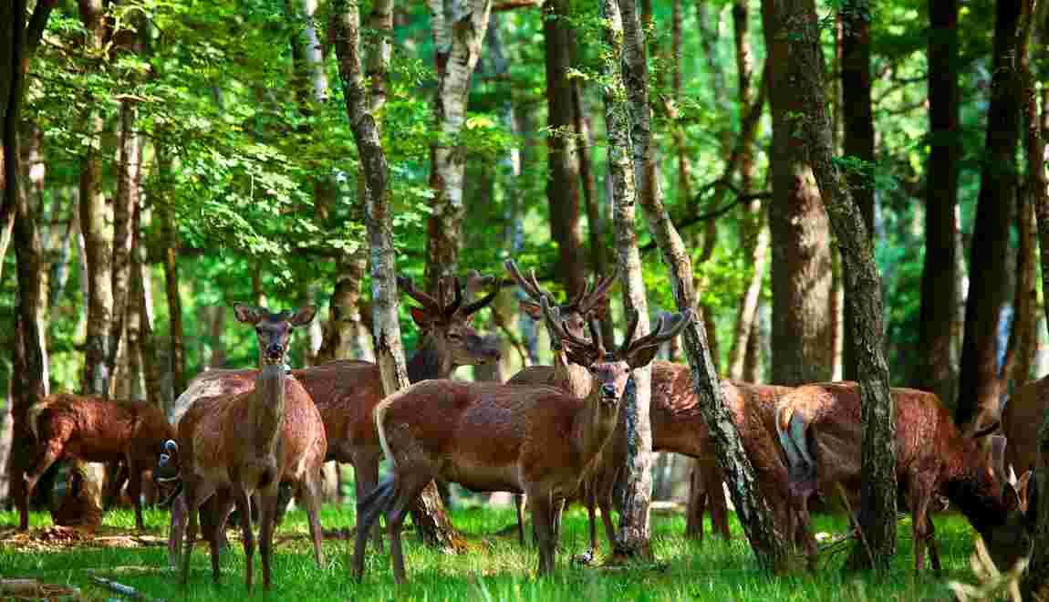 A Rambouillet, la magie du brame du cerf au fond des bois
